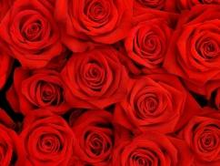 fotos-flores-rosas-rojas-amor