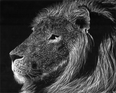 lion_scratchboard_by_andoledius