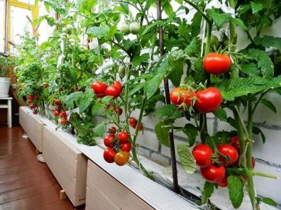 Tomates en un balcón... fáciles de plantar y ricos de comer
